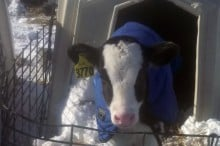 holstein calf in snow