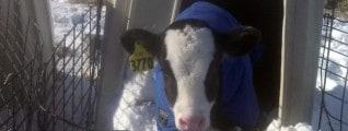 holstein calf in snow