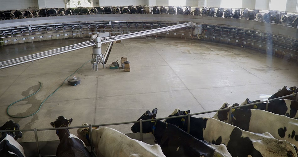 Cows being milked in the rotary parlor