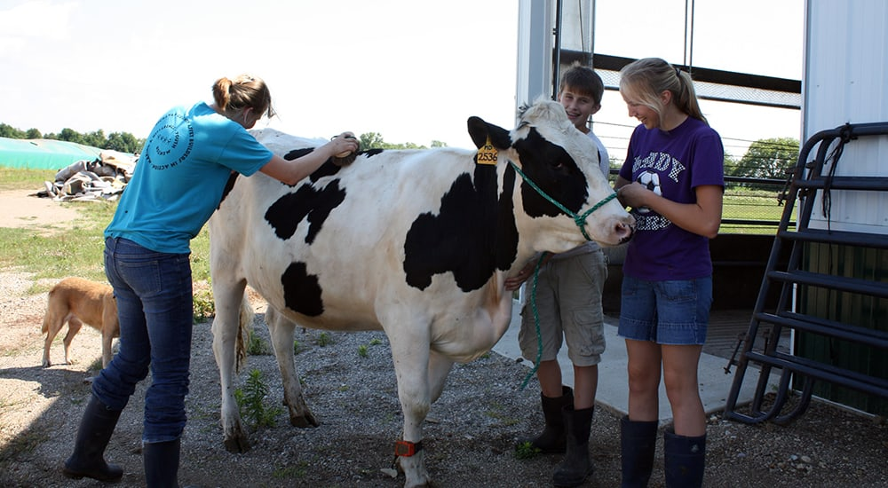 Miedema kids brushing their cow