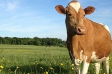 guernsey cow in pasture