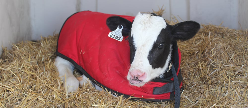 keeping calves warm