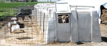 How Do Cows (and Calves) Stay Warm in the Winter?