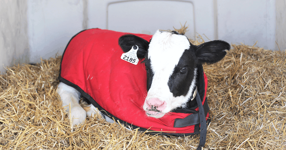 Calf wearing a calf jacket and laying down in a calf hutch