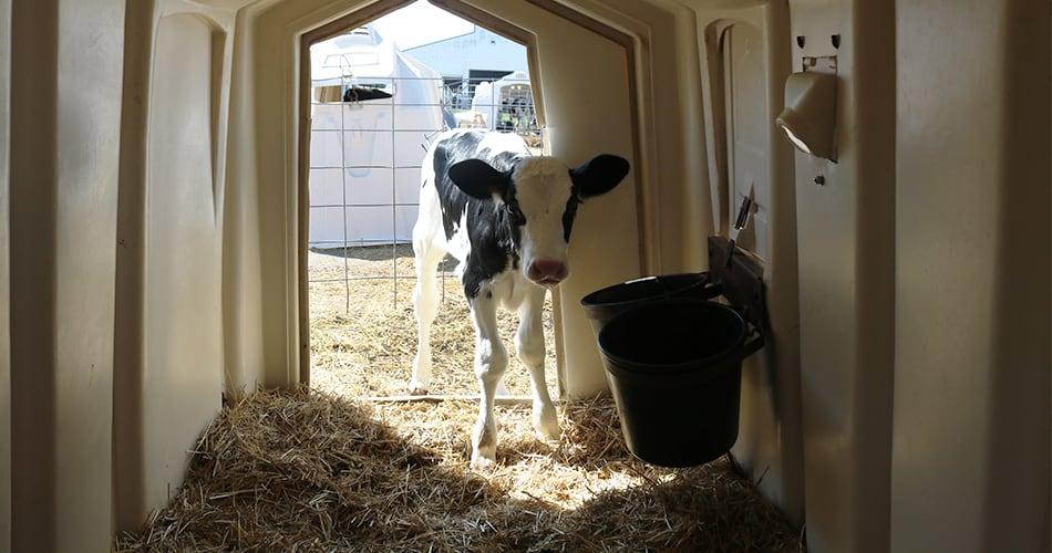 calf inside hutch