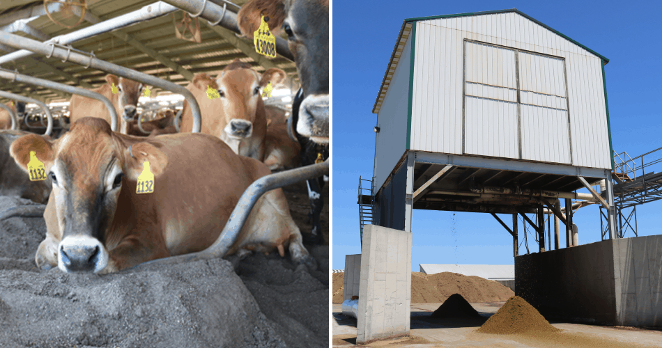 Photo collage of cow laying on bedding and manure separator