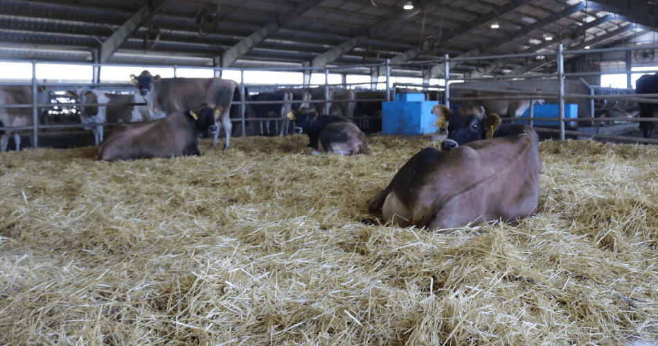 Cows in a maternity pen