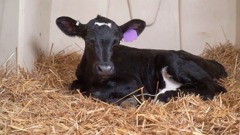 Calf Care with Dr. Fred Gingrich