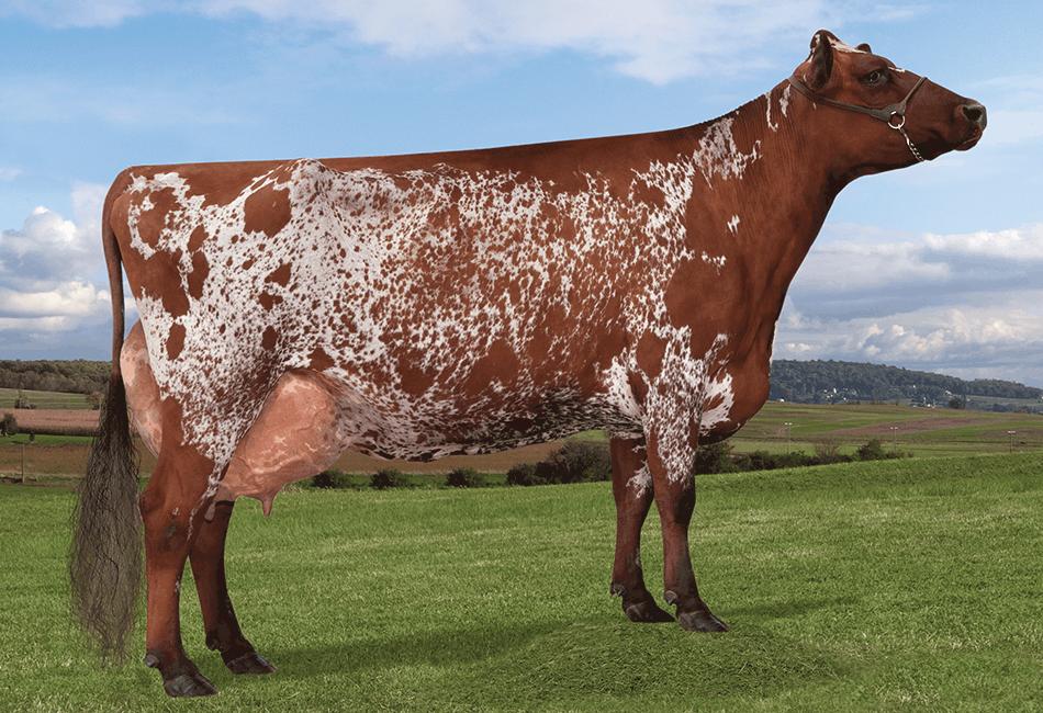 Breeds Of Dairy Cattle Drink Milkcom