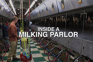 Inside a Milking Parlor
